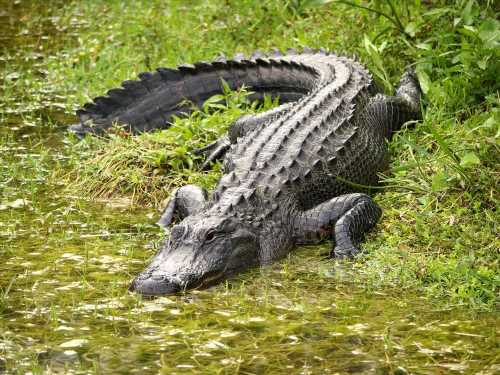 Woman Suffers 'Life-Changing Injuries' in Alligator Attack While Walking Dog in South Carolina