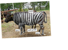 Painting Cows To Look Like Zebras Has A Surprising Benefit