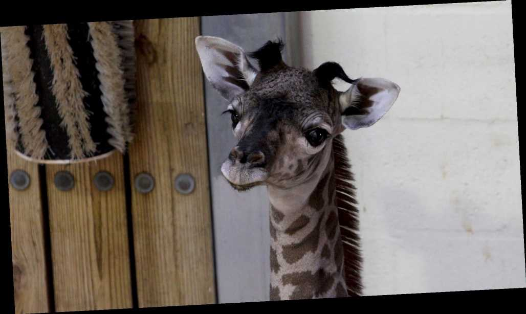 'Strong and Feisty' Baby Giraffe Born Backstage at Disney's Animal Kingdom