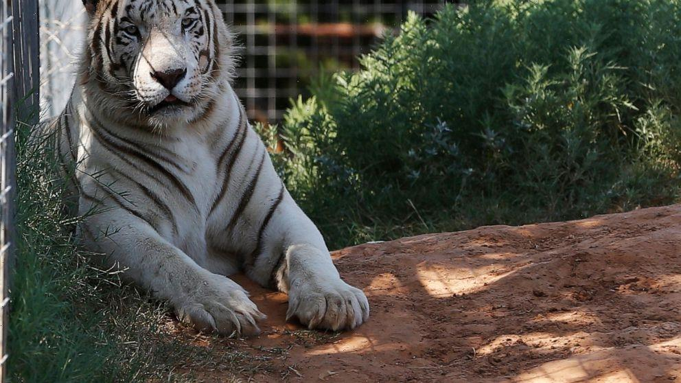 Last cat out of the Tiger King Park bag as seizure completed